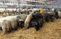 Schafausstellung Imst