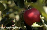 Apfelernte in Haiming Aussichten für 2019